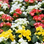Begonia Semperflorens Will Bloom No Matter What