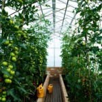 Growing Tomatoes Indoors Is a Wonderful Option
