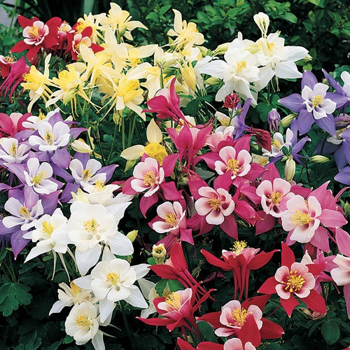 Columbine Winky Mix