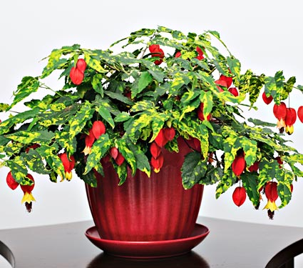 Holiday Cactus Plant
