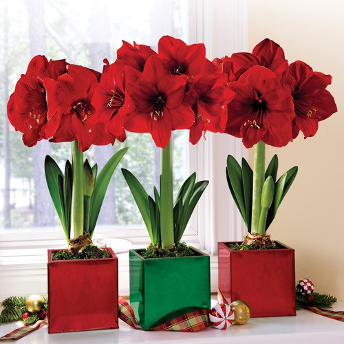 30 flowering houseplants to beautify your home gardening for Planter des amaryllis