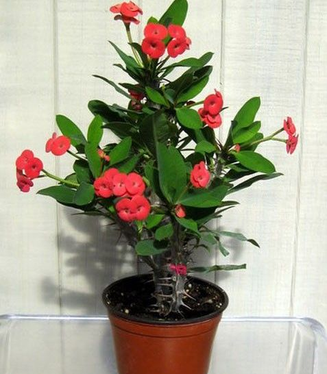Crown-of-Thorns plant