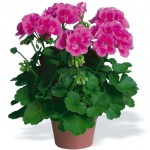 take care of geraniums in winter