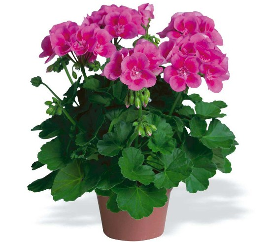 water them geraniums Give your potted geraniums a good drink of water, remove any dead (easy to pull) leaves, mold, or rotted areas, and stash them in a cold (not below freezing) garage done water lightly every now and then and start reintroducing them to regular watering and light in the spring.