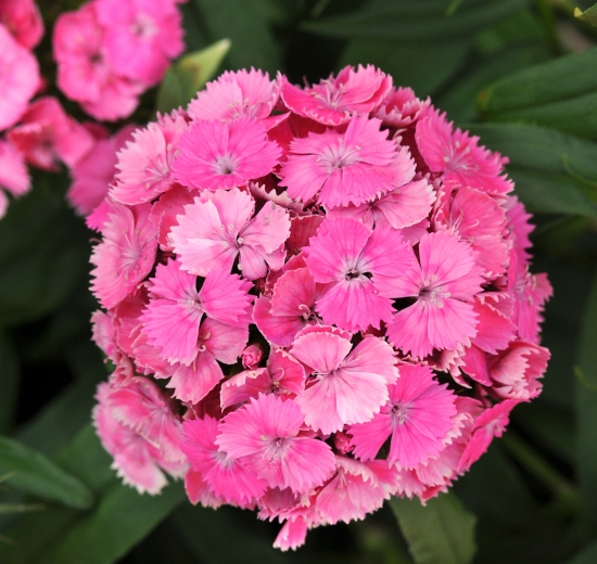 tips and ways to care for dianthus