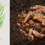 How to Grow Turmeric Inside your House