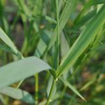 How to get rid of Quackgrass